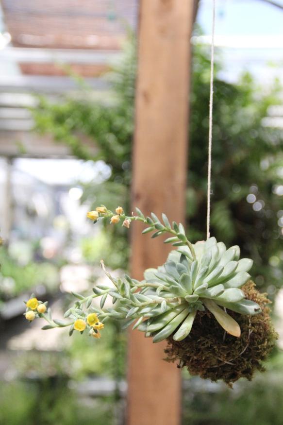 DIY Kokedama Hanging Garden